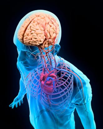 Srce, Ožilje in Možgani